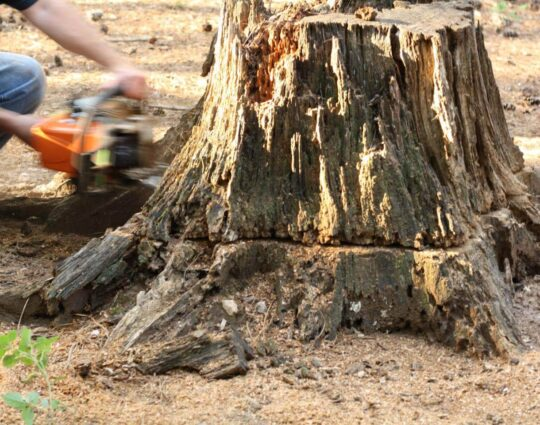 Stump Removal-Myrtle Beach Tree Trimming and Tree Removal Services-We Offer Tree Trimming Services, Tree Removal, Tree Pruning, Tree Cutting, Residential and Commercial Tree Trimming Services, Storm Damage, Emergency Tree Removal, Land Clearing, Tree Companies, Tree Care Service, Stump Grinding, and we're the Best Tree Trimming Company Near You Guaranteed!